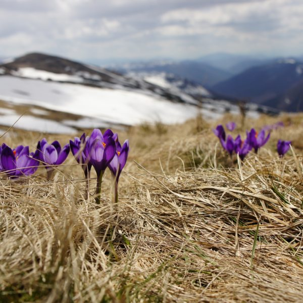 Photo by Biegun Wschodni: Blooming saffrons in the mountains